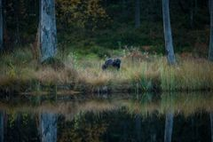 Gulo gulo. Wolverine. Expanded in Finland, Russia and Canada. Wildlife of Finland. Beautiful picture. Autumn Finland. Finland. Nature Stock Photo