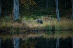Gulo gulo. Wolverine. Expanded in Finland, Russia and Canada. Wildlife of Finland. Beautiful picture. Autumn Finland. Finland. Nature Stock Photography