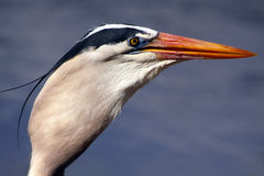 Gulp. Closeup of a Great Blue Heron swallowing a large fish Royalty Free Stock Photos