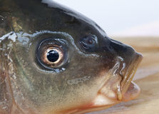 Gulping fish Stock Images