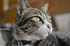 Gult öga av katten arkivfoto