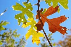 Gult blad av den svarta eken i höst Royaltyfri Bild