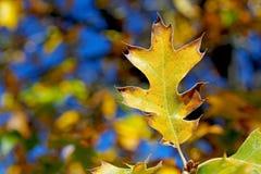 Gult blad av den svarta eken i höst Arkivfoto