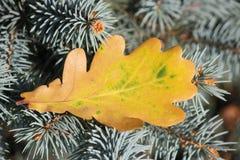 Gult blad för höst av ekavverkningen på gran arkivfoto