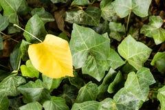 Gult blad för singel bland gröna sidor Arkivbild