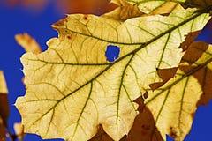 gult blad i himlen Arkivfoton