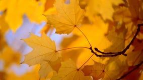Gult blad på en filial på bakgrund av den suddiga gula sidanärbilden