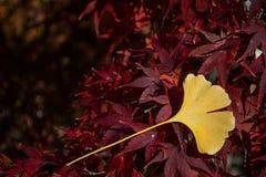Gult blad på röd lönn Arkivfoton