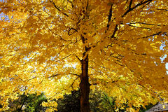 Gult blad på träd Royaltyfri Fotografi