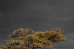 Gult bladträd mot mörk himmel arkivbilder