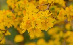 Gult blomma för aprikosblomningträd som är vibrerande Royaltyfri Fotografi