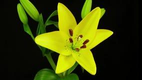 Gult blomma för lilja lager videofilmer