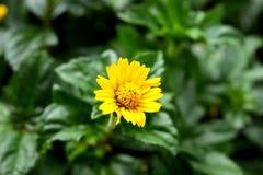 Gult blomma för tusenskönor Fotografering för Bildbyråer