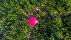 Gult blommaCrotalariafält royaltyfri foto