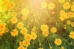 Gult blommafält med den varma ljusa signalljuset för bakgrund Royaltyfri Foto