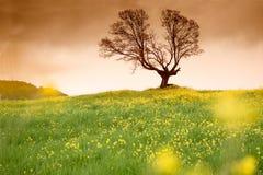 Gult blommafält och träd Royaltyfri Foto