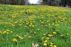 Gult blommahav Arkivfoton