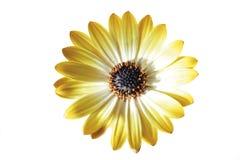 Gult blommahuvud av den afrikanska tusenskönan Royaltyfria Foton