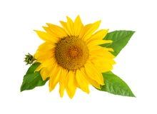 Gult blommahuvud för solros med blad som isoleras på vit arkivfoto