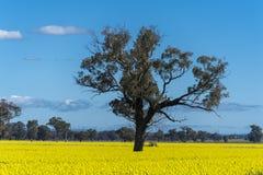 Gult Canolafält i Australien royaltyfri foto