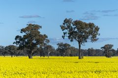 Gult Canolafält i Australien fotografering för bildbyråer