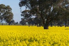 Gult Canolafält i Australien arkivfoton