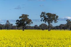 Gult Canolafält i Australien arkivbild