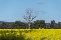 Gult Canolafält i Australien arkivbilder