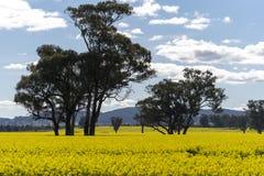 Gult Canolafält i Australien royaltyfria bilder