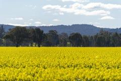 Gult Canolafält i Australien royaltyfri bild