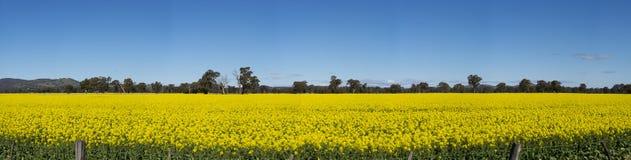 Gult Canolafält i Australien royaltyfria foton