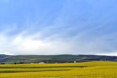 Gult canolafält mot blå himmel Arkivbilder