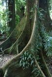 Gult Carabeen träd i en australisk Rainforest Royaltyfri Bild