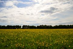 Gult fält av blommor och molnig himmel Arkivfoton