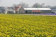 Gult fält av påskliljor royaltyfria bilder