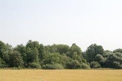 Gult fält framme av en grön dunge i sommar Arkivfoto