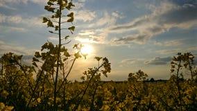 Gult fält i Tyskland fotografering för bildbyråer