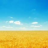 gult fält med den mogna skörden och djupblå himmel arkivfoto