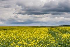 Gult fält och stormig himmel Royaltyfri Foto