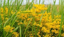 Gult fältgräs Royaltyfria Foton