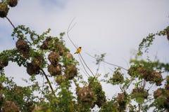 Gult fågelBaglafecht sammanträde på en filial (Republiken Kongo) Royaltyfri Fotografi