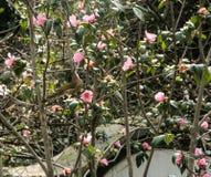 Gult fågelsammanträde på magnoliaträd Arkivfoto