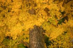 Gult Ginkgoblad på träd i höstsäsong på Japan royaltyfri fotografi