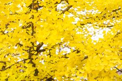 Gult ginkgobladträd royaltyfria foton