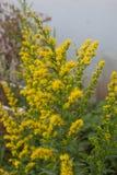 Gult goldenrod växa i ängen royaltyfri fotografi