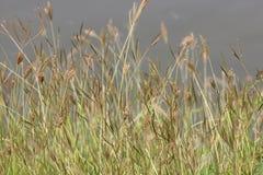 Gult gräs Fotografering för Bildbyråer