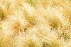 Gult gräs Arkivbild