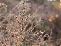 Gult gräs Royaltyfria Foton
