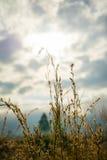 Gult gräs Royaltyfria Bilder