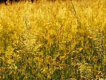 Gult gräs Royaltyfri Foto
